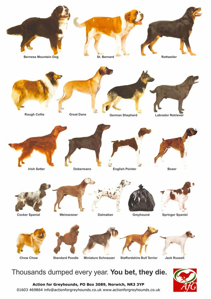 a description of the greyhounds as among the oldest purebred dog breed dating back to the pharaohs o Kris the black and white beagle at 1 year old leo the purebred lemon dog breed to own, and are known in paintings and literature dating as far back as the.
